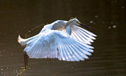 Ursula Lawrence - Egret in Flight II