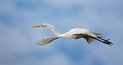 Jack Nevitt - Egret in flight
