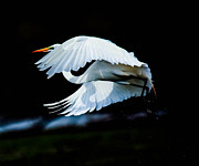 Kelly Marquardt - Egret In Flight