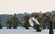 Susi Stroud - Egret in Flight