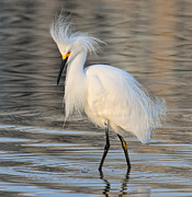 Dave Mills - Egret In Golden Light