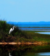 Marsh Metal Prints - Egret in Tall Grass 2 Metal Print by Cathy Lindsey