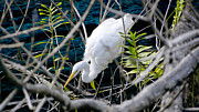 Jose Francisco Abreu - Egret