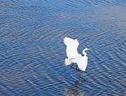 Sound Art - Egret Landing by Cathy Lindsey