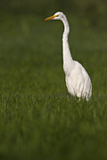 Bryan Keil - Egret looking for lunch