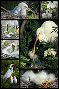 Collage Prints - Egret Mother and Chicks Print by Dawn Currie