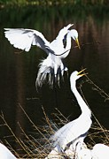 Bird Rookery Swamp Posters - Egret Nest Building Poster by Shelly Guy Dunford