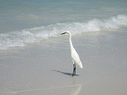 Dyana Rzentkowski - Egret on Beach