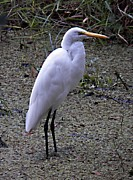Jaci Hanson - Egret On Prowl
