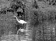 Suzy Piatt - Egret on the Move