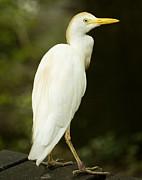 Marilyn Hunt - Egret or Heron