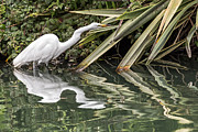 Kate Brown - Egret Reflections