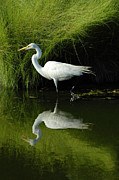 Great Neck Framed Prints - Egret Reflections Framed Print by Lara Ellis