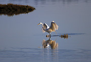 Egret Photos - Egret Reflections by Mike  Dawson