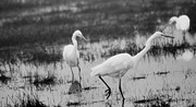 Marsh Photo Acrylic Prints - Egret Trio Acrylic Print by Rebecca Cozart