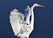Thomas Photography  Thomas - Egret Wings