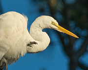 Steve Whalen - Egret with Claw