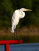 Waterfowl Framed Prints - Egret WIth Knot In Neck Framed Print by Robert Frederick