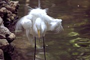 Featured Photo Originals - Egret_Great 6 by Randy Matthews