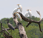Ruth Housley Metal Prints - Egrets and Black Crown Night Heron Metal Print by Ruth  Housley