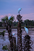 Lesley Brindley - Egrets At Rest