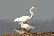 Bob and Jan Shriner - Egrets