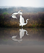 John Collins Metal Prints - Egrets in the Fog Metal Print by John Collins