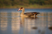 Egyptian Pyrography - Egyptian Goose in Israel by Avishai Futerman