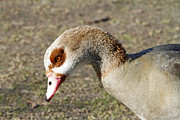 Egyptian Pyrography Posters - Egyptian Goose Profile Poster by Shoal Hollingsworth
