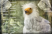 Nola Lee Kelsey - Egyptian Vulture