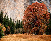 Terry Garvin - El Capitan and Fall Oak