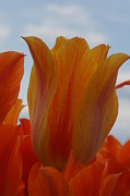 Brian Jones Prints - El Nino Tulips Print by Brian Jones
