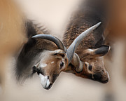 Eland Antelope Heads Print by Tessa Fairey
