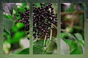 Nadeesha Jayamanne - Elderberries
