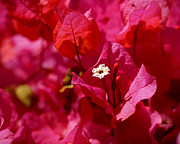 Red Flower Posters - Electric Pink Bougainvillea Poster by Rona Black