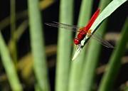 Sabrina L Ryan - Electric Red Dragonfly