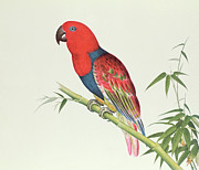 Ornithological Prints - Electus Parrot on a Bamboo Shoot Print by Chinese School