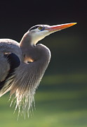 Heron Photos - Elegance And Poise by Bruce J Robinson