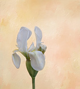White Flower Photos - Elegance in White by Kim Hojnacki