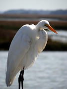 Crystal Joy Photography - Elegant Egret