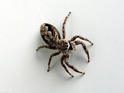 Spider Species Framed Prints - Elegant Jumping Spider Framed Print by Christina Rollo