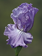 Bearded Irises Photos - Elegant Lady Iris by Susan Candelario