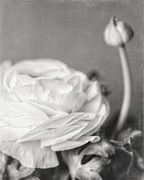 Cottage Chic Posters - Elegant Ranunculus Flower in Black and White Poster by Lisa Russo