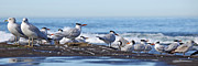 Sea Birds Pyrography Prints - Elegant Terns La Jolla Print by Dusty Wynne