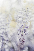 Trellis Posters - Elegant Wisteria Poster by Darren Fisher