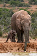 Waterhole Framed Prints - Elephant And Calf At Waterhole Framed Print by Bruce J Robinson
