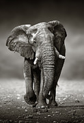 Elephant Approach From The Front Print by Johan Swanepoel
