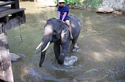 Bath Photo Framed Prints - Elephant Baths - Maesa Elephant Camp - Chiang Mai Thailand - 011313 Framed Print by DC Photographer
