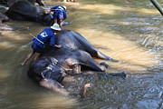 River Photo Prints - Elephant Baths - Maesa Elephant Camp - Chiang Mai Thailand - 011321 Print by DC Photographer