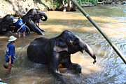 Bathing Metal Prints - Elephant Baths - Maesa Elephant Camp - Chiang Mai Thailand - 011326 Metal Print by DC Photographer